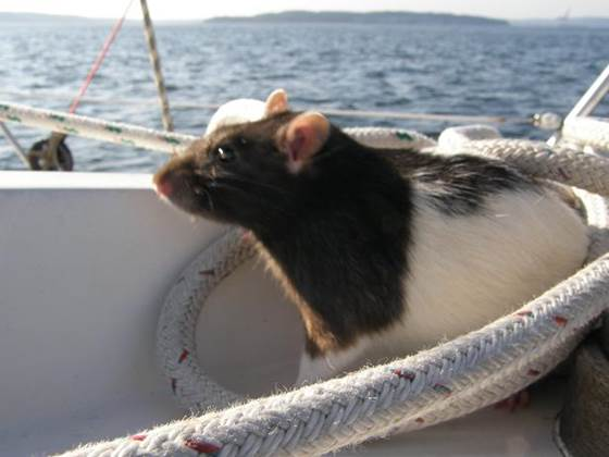 Rats enjoy sailing, and other unexpected rat facts – PUBLIC HEALTH ...
