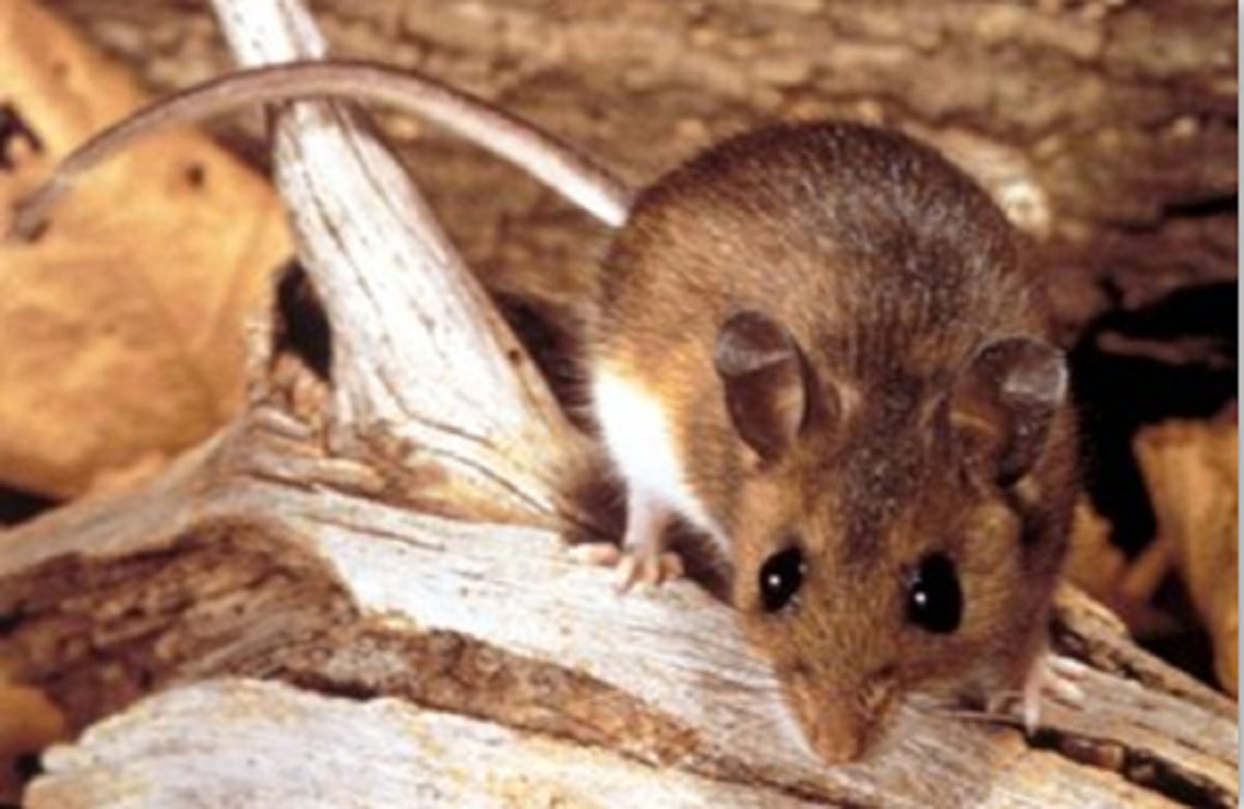 two cases of hantavirus reported in king county since december 2016 be aware of health risks. Black Bedroom Furniture Sets. Home Design Ideas