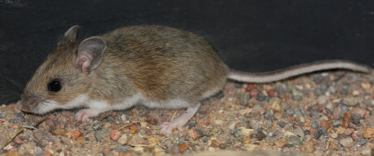Rodents, your car, and hantavirus: What to do if you suspect rodents are living in your vehicle