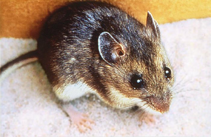 Deer Mouse indoors