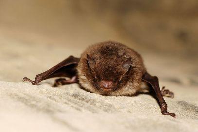myotis-bat